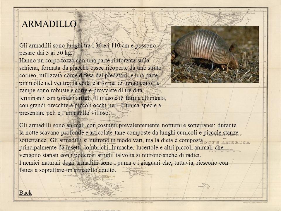 ARMADILLO Gli armadilli sono lunghi tra i 30 e i 110 cm e possono pesare dai 3 ai 30 kg. Hanno un corpo tozzo con una parte rinforzata sulla schiena,