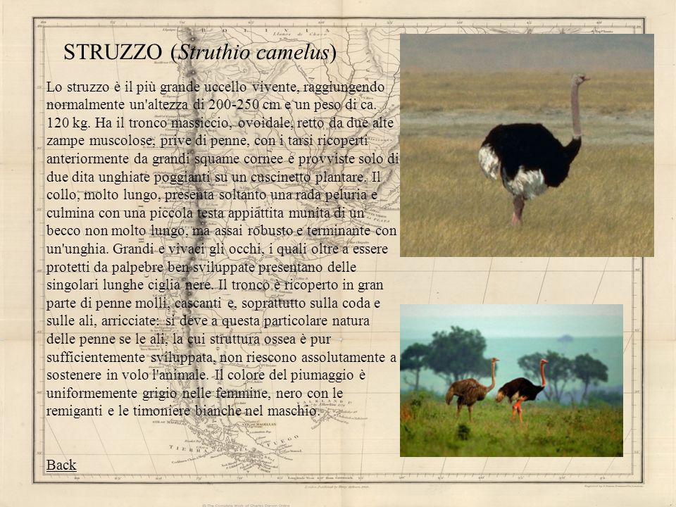 STRUZZO (Struthio camelus) Lo struzzo è il più grande uccello vivente, raggiungendo normalmente un'altezza di 200-250 cm e un peso di ca. 120 kg. Ha i