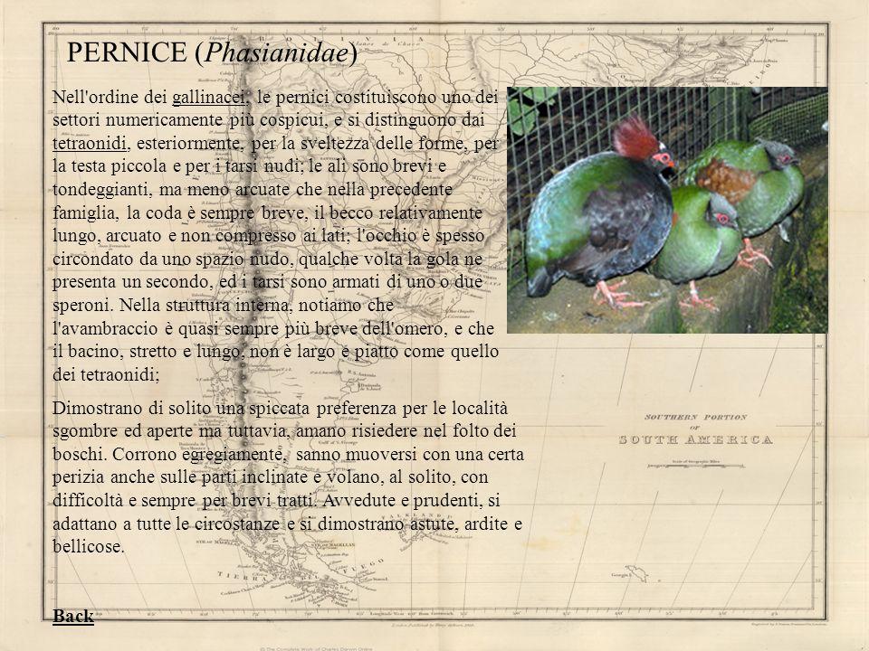PERNICE (Phasianidae) Nell'ordine dei gallinacei, le pernici costituiscono uno dei settori numericamente più cospicui, e si distinguono dai tetraonidi