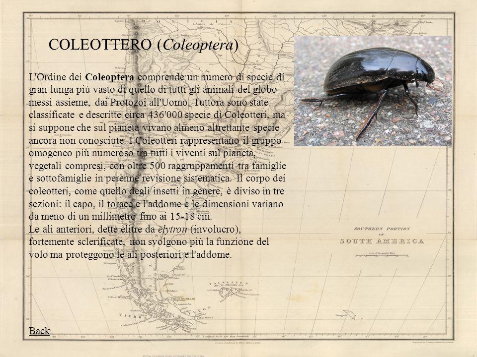 COLEOTTERO (Coleoptera) L'Ordine dei Coleoptera comprende un numero di specie di gran lunga più vasto di quello di tutti gli animali del globo messi a