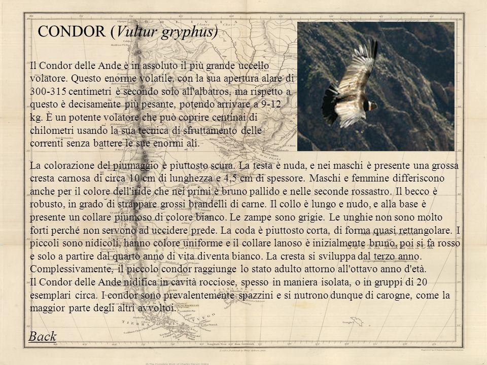 CONDOR (Vultur gryphus) Il Condor delle Ande è in assoluto il più grande uccello volatore. Questo enorme volatile, con la sua apertura alare di 300-31