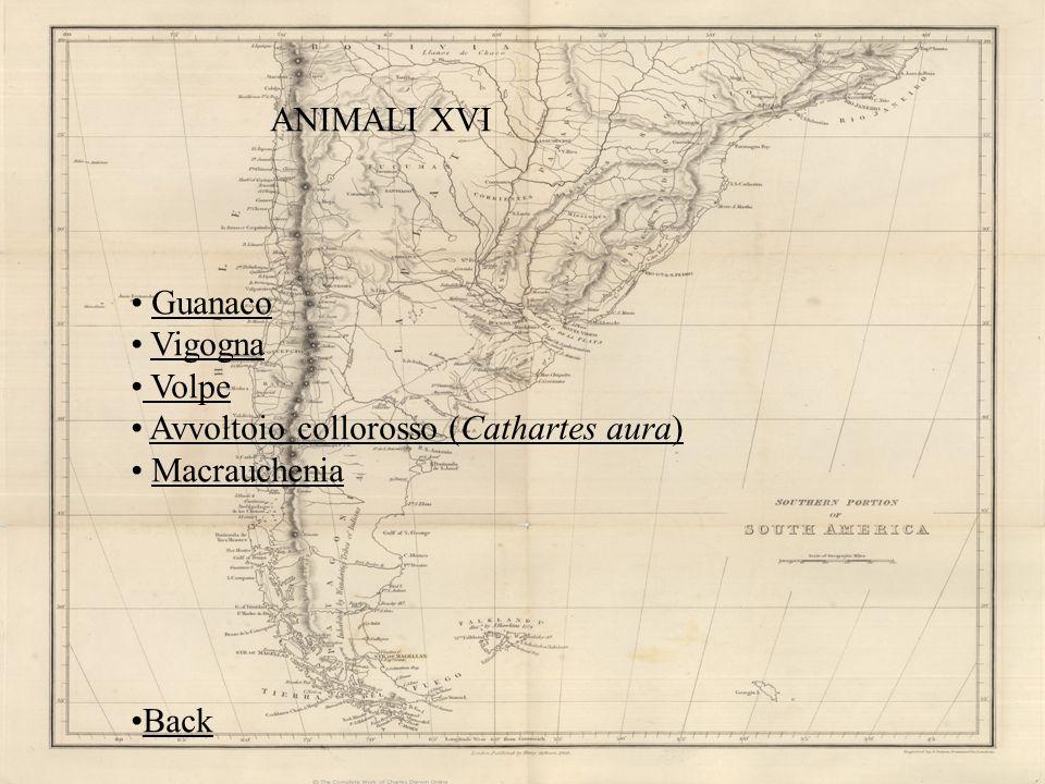 ANIMALI XVI Guanaco Vigogna Volpe Avvoltoio collorosso (Cathartes aura)Avvoltoio collorosso (Cathartes aura) Macrauchenia Back