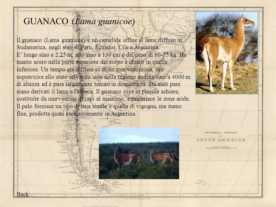 GUANACO (Lama guanicoe) Il guanaco (Lama guanicoe) è un camelide affine al lama diffuso in Sudamerica, negli stati di Peru, Ecuador, Cile e Argentina.