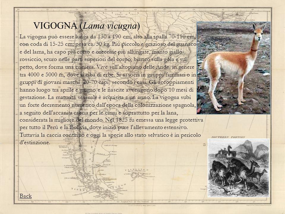VIGOGNA (Lama vicugna) La vigogna può essere lunga da 130 a 190 cm, alto alla spalla 70-110 cm, con coda di 15-25 cm; pesa ca. 50 kg. Più piccolo e gr