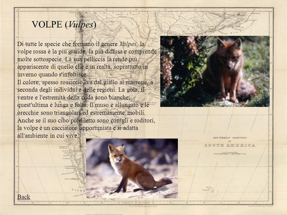 VOLPE (Vulpes) Di tutte le specie che formano il genere Vulpes, la volpe rossa è la più grande, la più diffusa e comprende molte sottospecie. La sua p