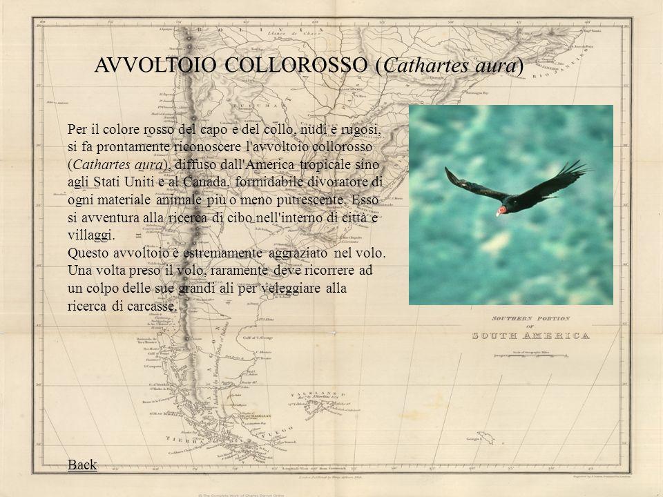 AVVOLTOIO COLLOROSSO (Cathartes aura) Per il colore rosso del capo e del collo, nudi e rugosi, si fa prontamente riconoscere l'avvoltoio collorosso (C