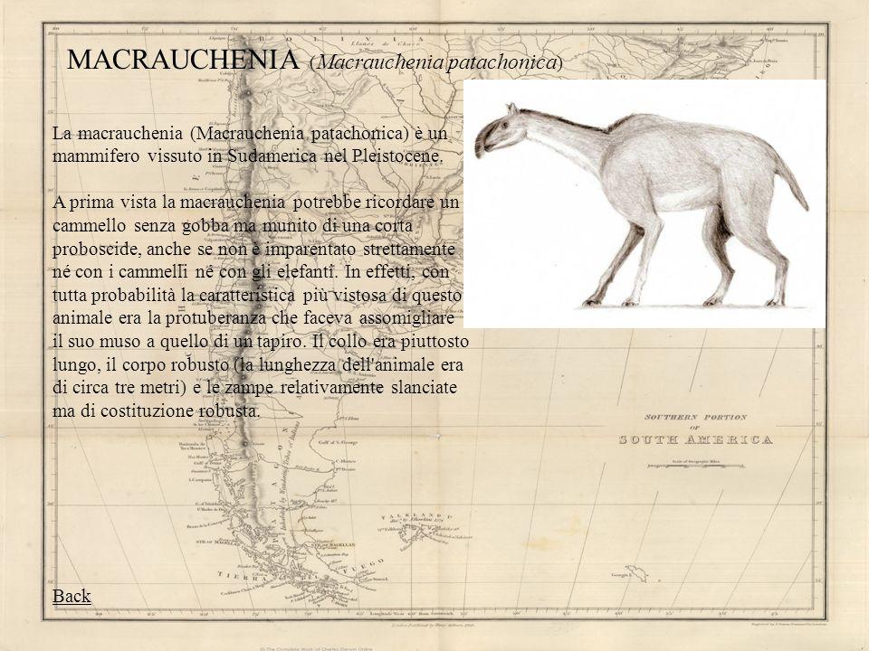 MACRAUCHENIA ( Macrauchenia patachonica ) La macrauchenia (Macrauchenia patachonica) è un mammifero vissuto in Sudamerica nel Pleistocene. A prima vis
