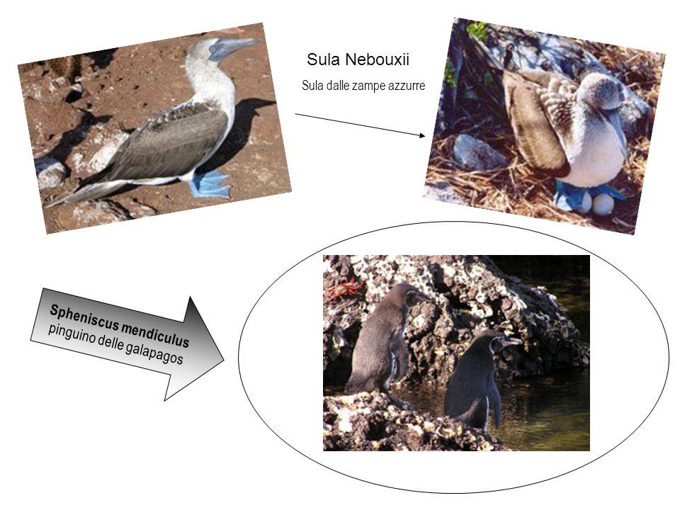 Sula Nebouxii Spheniscus mendiculus pinguino delle galapagos Sula dalle zampe azzurre
