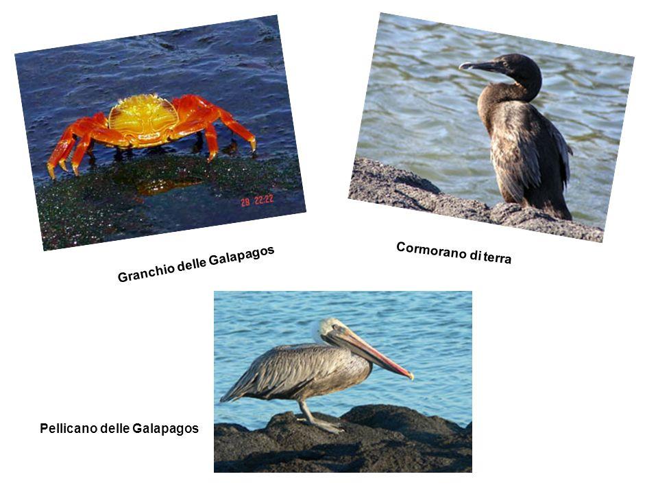 Cormorano di terra Granchio delle Galapagos Pellicano delle Galapagos
