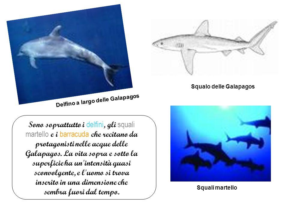 Squalo delle Galapagos Delfino a largo delle Galapagos Sono soprattutto i delfini, gli squali martello e i barracuda che recitano da protagonisti nelle acque delle Galapagos.