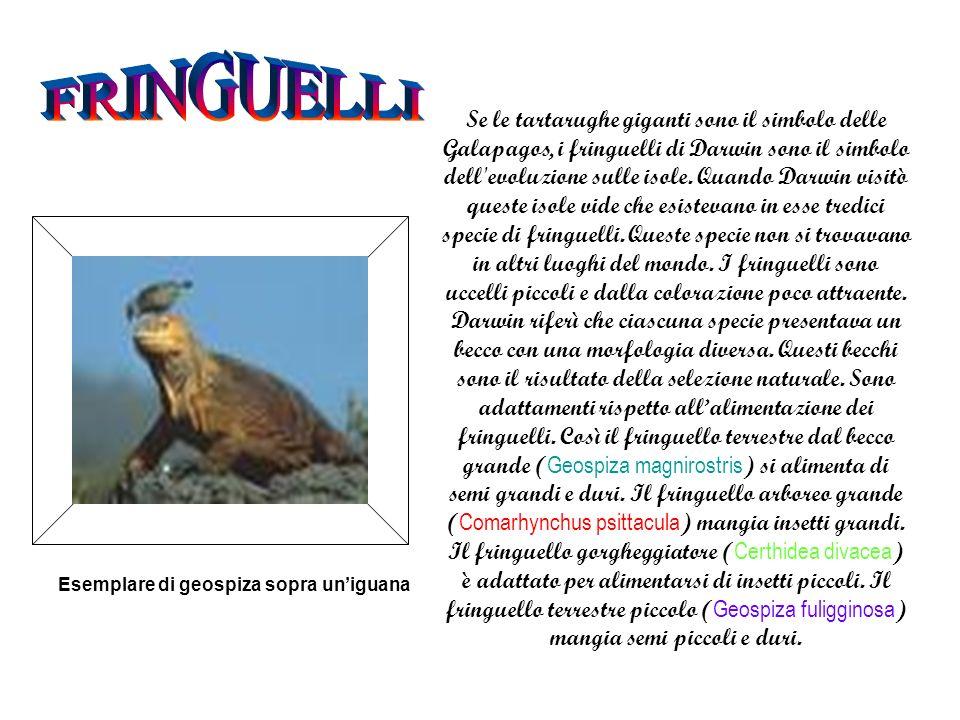 Se le tartarughe giganti sono il simbolo delle Galapagos, i fringuelli di Darwin sono il simbolo dell evoluzione sulle isole.