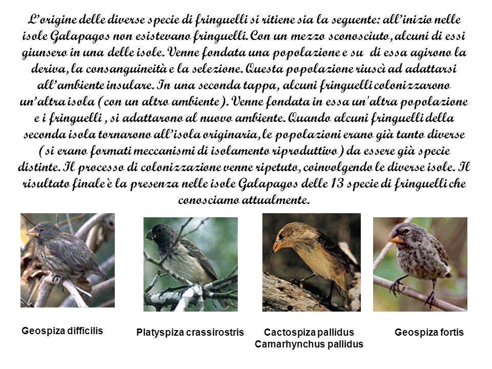 Lorigine delle diverse specie di fringuelli si ritiene sia la seguente: allinizio nelle isole Galapagos non esistevano fringuelli.