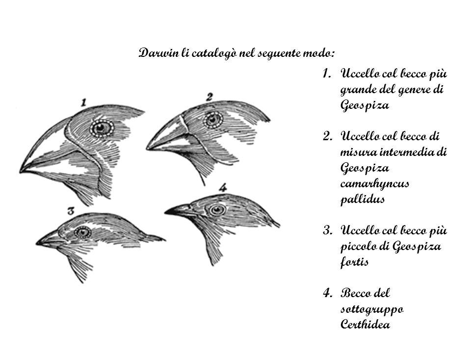 Darwin li catalogò nel seguente modo: 1.Uccello col becco più grande del genere di Geospiza 2.Uccello col becco di misura intermedia di Geospiza camarhyncus pallidus 3.Uccello col becco più piccolo di Geospiza fortis 4.Becco del sottogruppo Certhidea