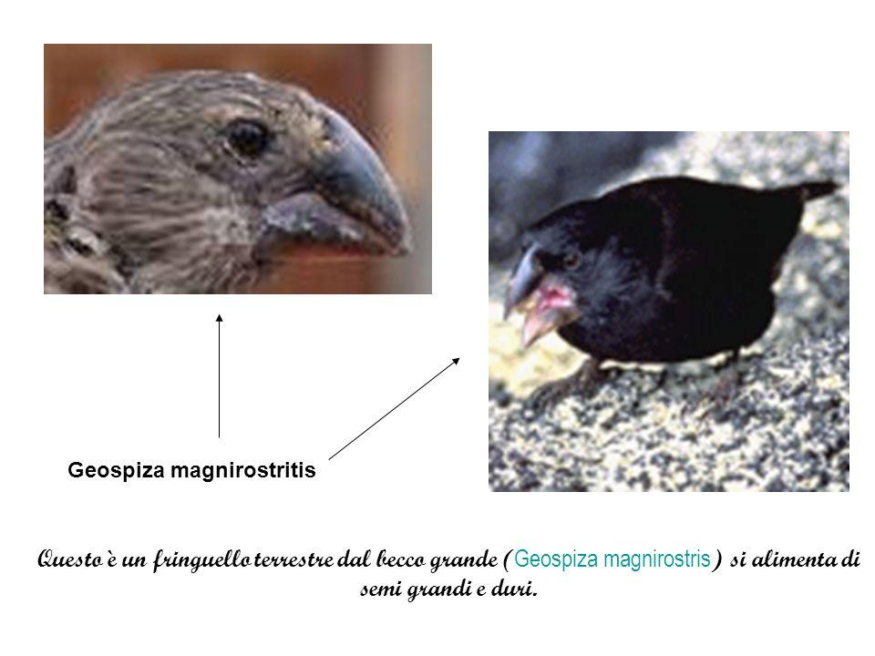 Geospiza magnirostritis Questo è un fringuello terrestre dal becco grande ( Geospiza magnirostris ) si alimenta di semi grandi e duri.