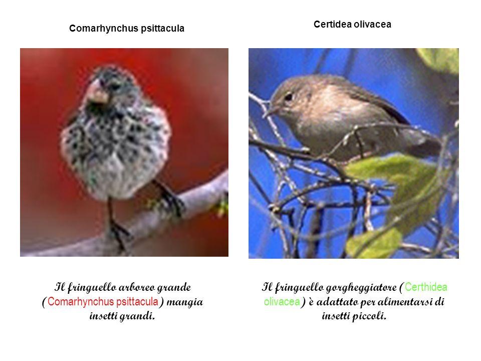 Comarhynchus psittacula Certidea olivacea Il fringuello arboreo grande ( Comarhynchus psittacula ) mangia insetti grandi.