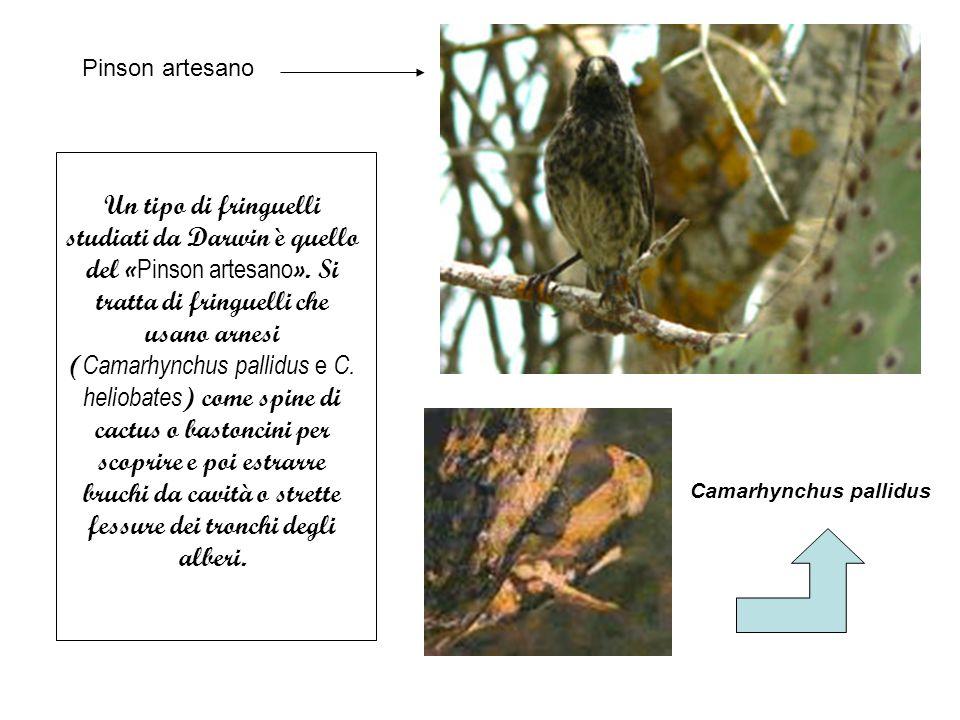 Un tipo di fringuelli studiati da Darwin è quello del « Pinson artesano ».