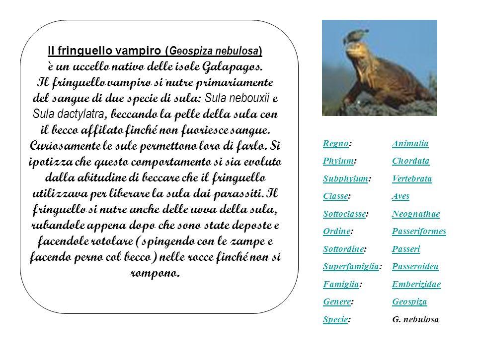 RegnoRegno:Animalia PhylumPhylum:Chordata SubphylumSubphylum:Vertebrata ClasseClasse:Aves SottoclasseSottoclasse:Neognathae OrdineOrdine:Passeriformes SottordineSottordine:Passeri SuperfamigliaSuperfamiglia:Passeroidea FamigliaFamiglia:Emberizidae GenereGenere:Geospiza SpecieSpecie:G.