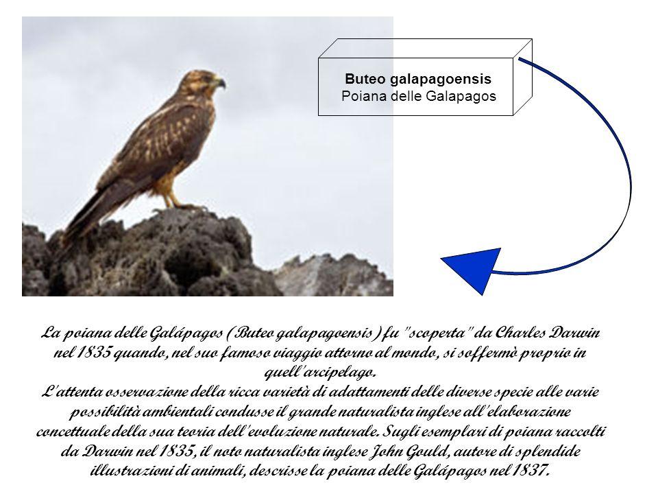 Buteo galapagoensis Poiana delle Galapagos La poiana delle Galápagos (Buteo galapagoensis) fu scoperta da Charles Darwin nel 1835 quando, nel suo famoso viaggio attorno al mondo, si soffermò proprio in quell arcipelago.