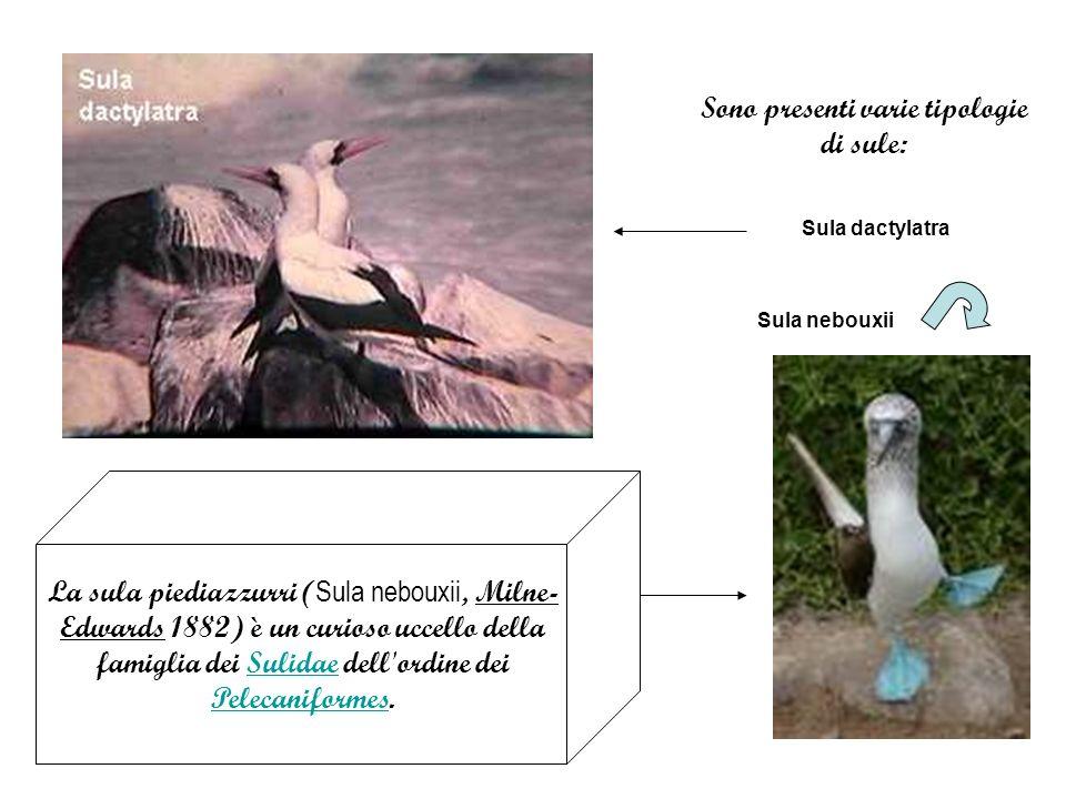 Sono presenti varie tipologie di sule: Sula dactylatra Sula nebouxii La sula piediazzurri ( Sula nebouxii, Milne- Edwards 1882) è un curioso uccello della famiglia dei Sulidae dell ordine dei Pelecaniformes.Sulidae Pelecaniformes