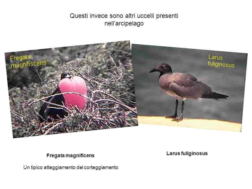 Questi invece sono altri uccelli presenti nellarcipelago Fregata magnificens Un tipico atteggiamento del corteggiamento Larus fuliginosus