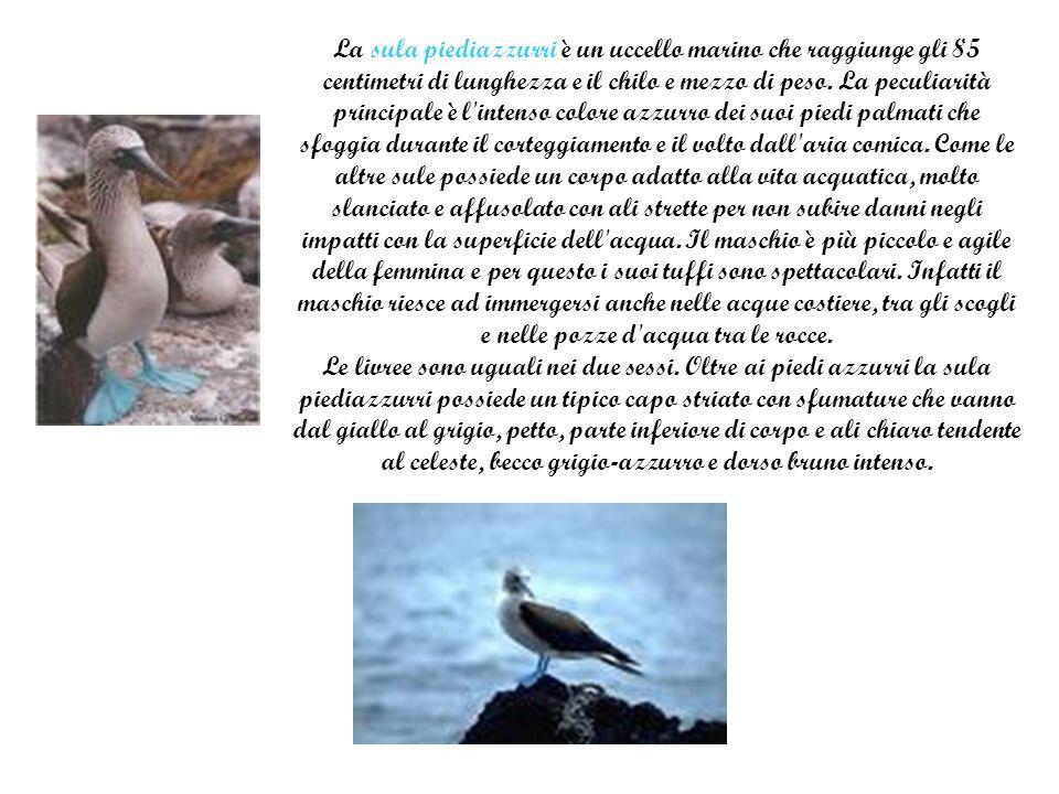 La sula piediazzurri è un uccello marino che raggiunge gli 85 centimetri di lunghezza e il chilo e mezzo di peso.