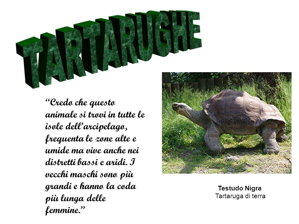 Testudo Nigra Tartaruga di terra Credo che questo animale si trovi in tutte le isole dellarcipelago, frequenta le zone alte e umide ma vive anche nei distretti bassi e aridi.