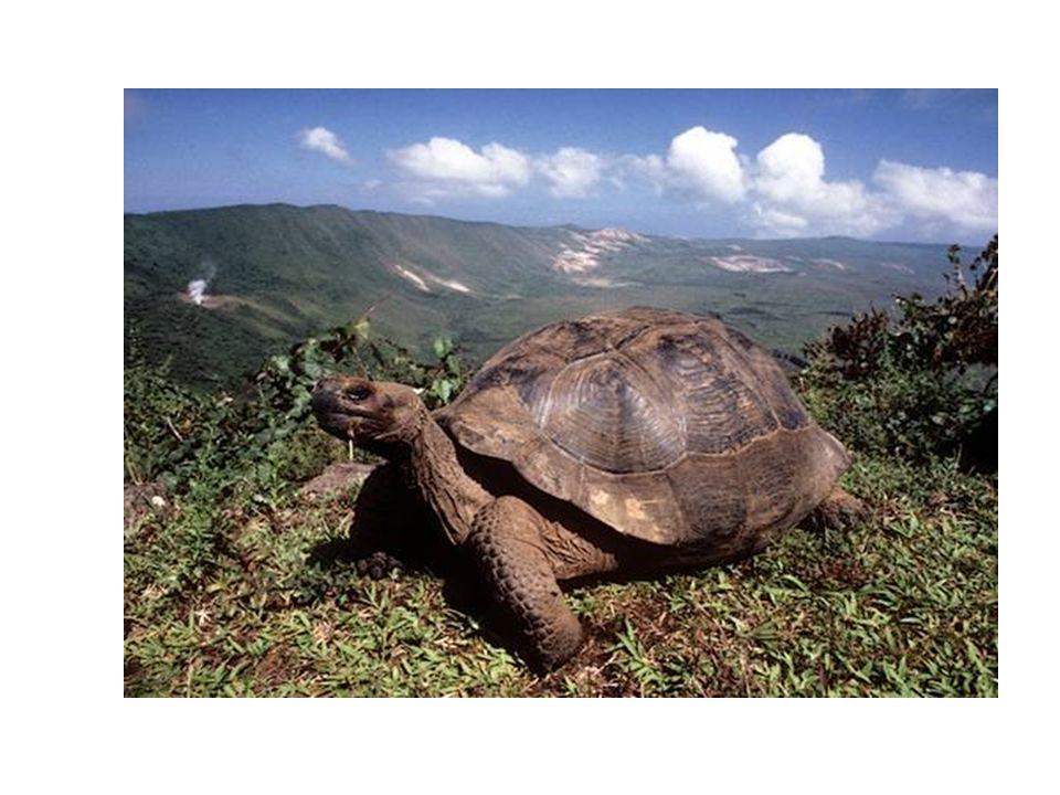 Le tartarguhe sono lesemplare faunistico emblematico di queste isole, infatti Galapago significa tartaruga.