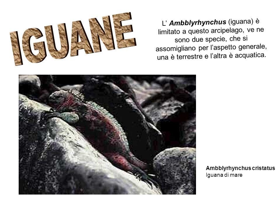 L Ambblyrhynchus (iguana) è limitato a questo arcipelago, ve ne sono due specie, che si assomigliano per laspetto generale, una è terrestre e laltra è acquatica.