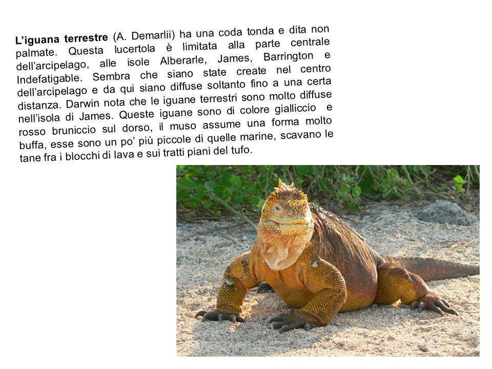 Liguana terrestre (A.Demarlii) ha una coda tonda e dita non palmate.
