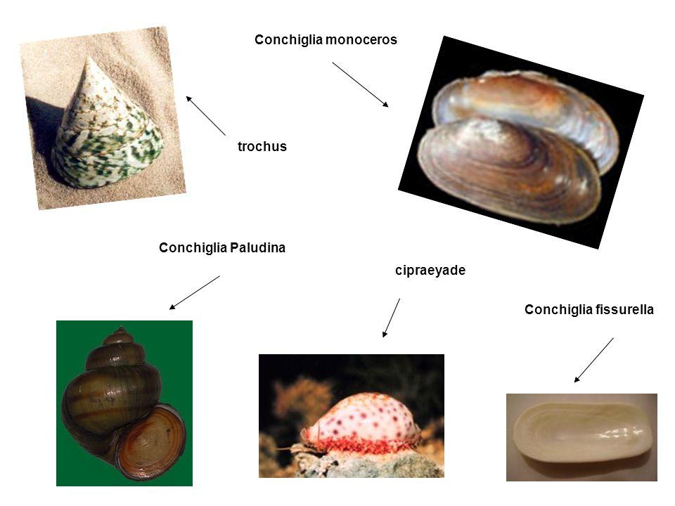trochus Conchiglia fissurella Conchiglia monoceros Conchiglia Paludina cipraeyade