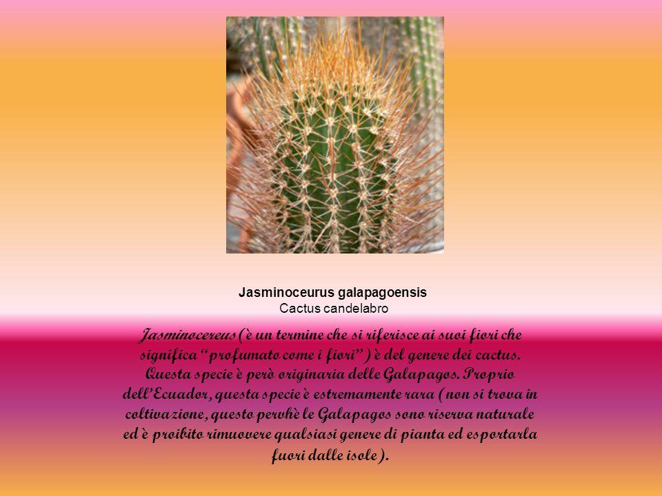 Jasminoceurus galapagoensis Cactus candelabro Jasminocereus (è un termine che si riferisce ai suoi fiori che significa profumato come i fiori) è del genere dei cactus.
