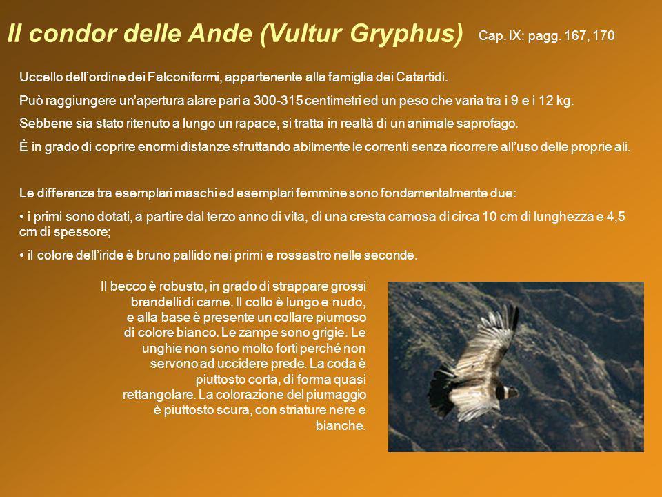 Il condor delle Ande (Vultur Gryphus) Uccello dellordine dei Falconiformi, appartenente alla famiglia dei Catartidi. Può raggiungere unapertura alare