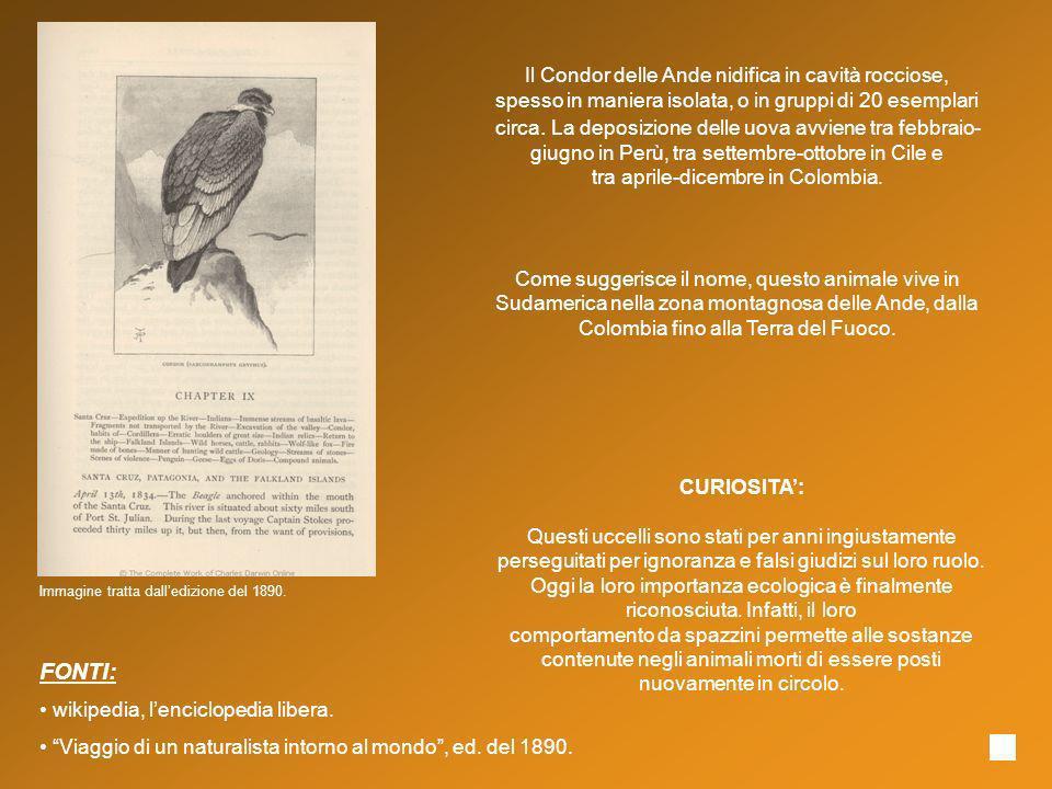 Il Condor delle Ande nidifica in cavità rocciose, spesso in maniera isolata, o in gruppi di 20 esemplari circa. La deposizione delle uova avviene tra