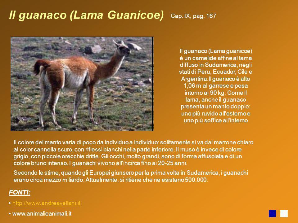 Il guanaco (Lama Guanicoe) Il guanaco (Lama guanicoe) è un camelide affine al lama diffuso in Sudamerica, negli stati di Peru, Ecuador, Cile e Argenti