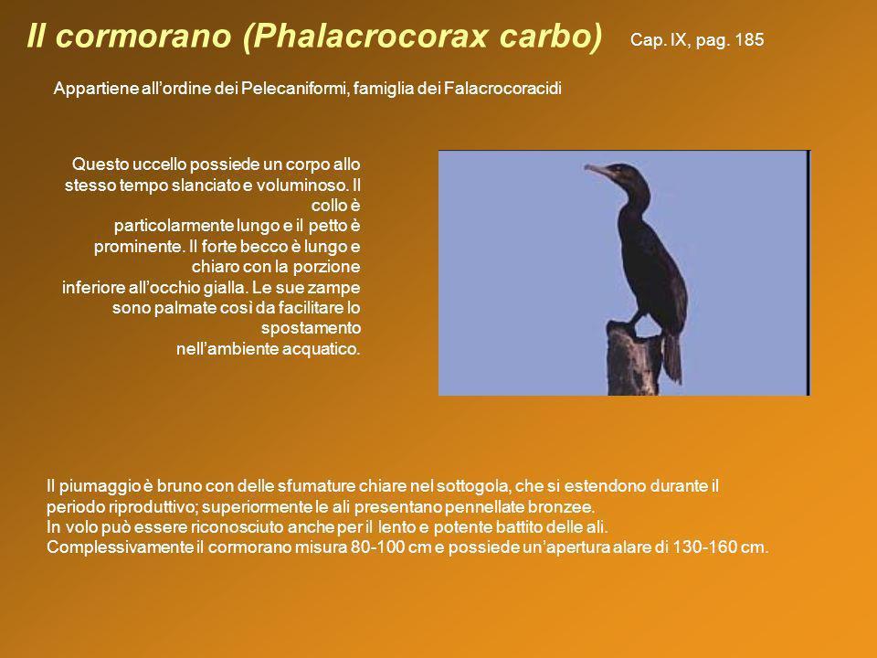 Il cormorano (Phalacrocorax carbo) Appartiene allordine dei Pelecaniformi, famiglia dei Falacrocoracidi Il piumaggio è bruno con delle sfumature chiar