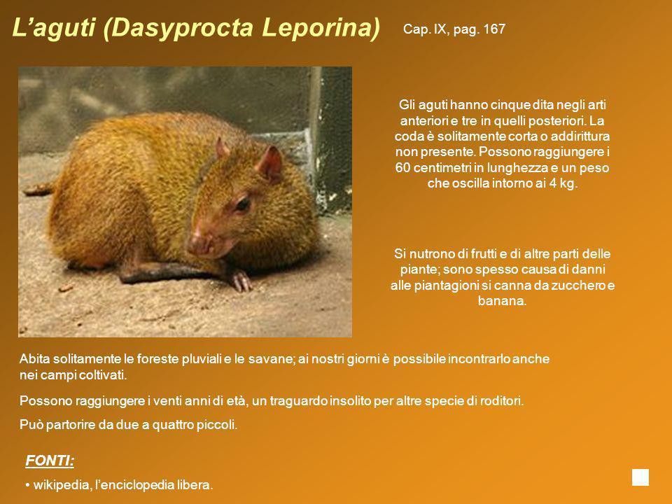 Laguti (Dasyprocta Leporina) Gli aguti hanno cinque dita negli arti anteriori e tre in quelli posteriori. La coda è solitamente corta o addirittura no