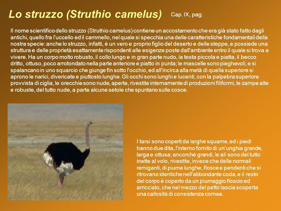 Lo struzzo (Struthio camelus) Il nome scientifico dello struzzo (Struthio camelus) contiene un accostamento che era già stato fatto dagli antichi, que