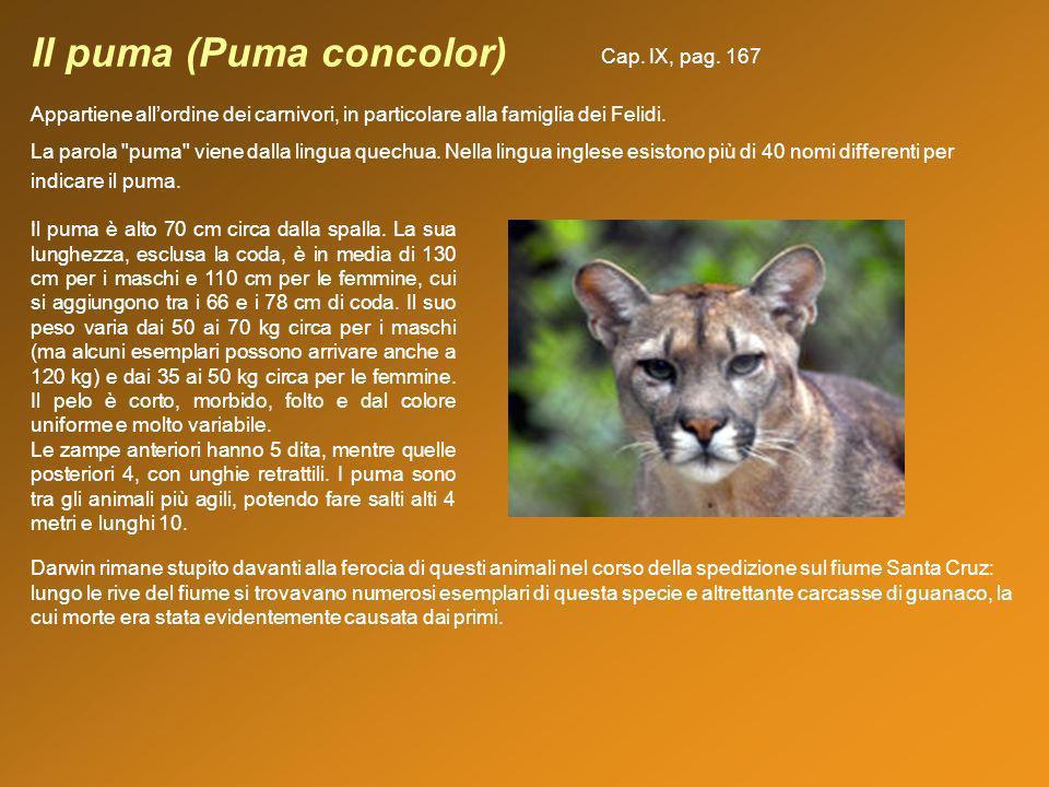 Il puma (Puma concolor) Appartiene allordine dei carnivori, in particolare alla famiglia dei Felidi. La parola