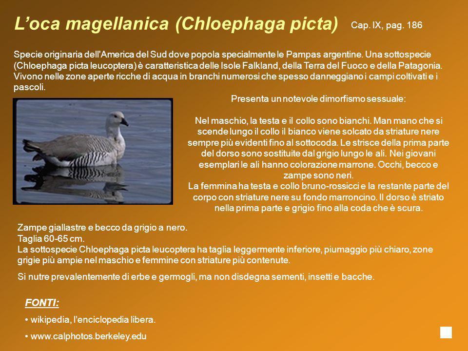 Loca magellanica (Chloephaga picta) Specie originaria dell'America del Sud dove popola specialmente le Pampas argentine. Una sottospecie (Chloephaga p