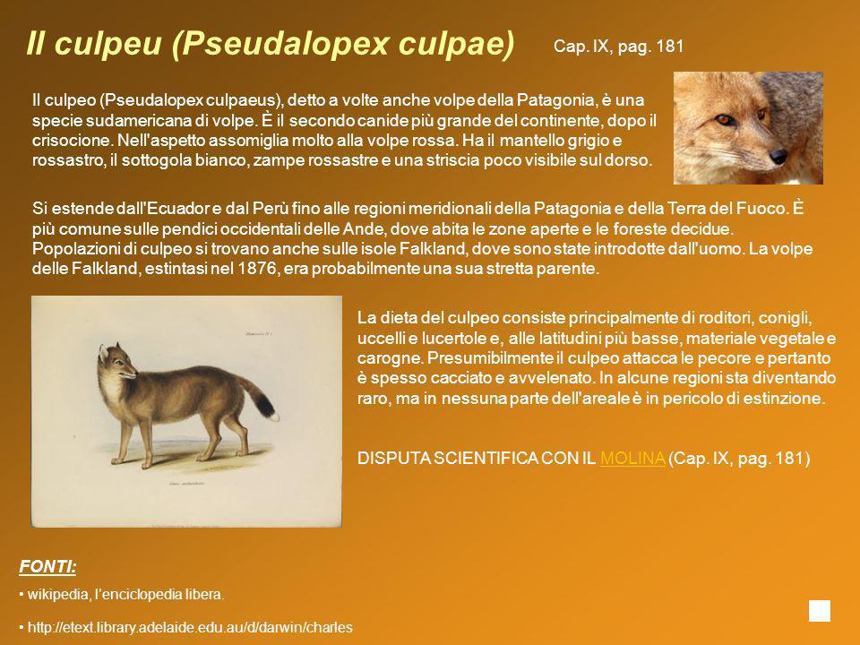 Il culpeu (Pseudalopex culpae) Il culpeo (Pseudalopex culpaeus), detto a volte anche volpe della Patagonia, è una specie sudamericana di volpe. È il s
