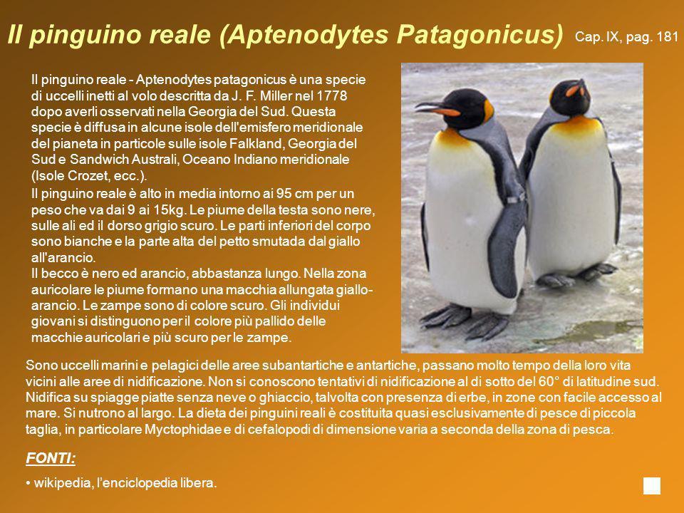 Il pinguino reale (Aptenodytes Patagonicus) Il pinguino reale - Aptenodytes patagonicus è una specie di uccelli inetti al volo descritta da J. F. Mill