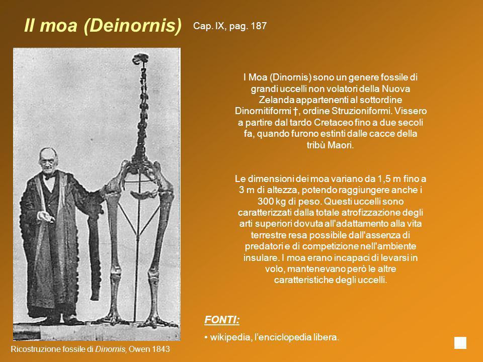 Il moa (Deinornis) Ricostruzione fossile di Dinornis, Owen 1843 I Moa (Dinornis) sono un genere fossile di grandi uccelli non volatori della Nuova Zel
