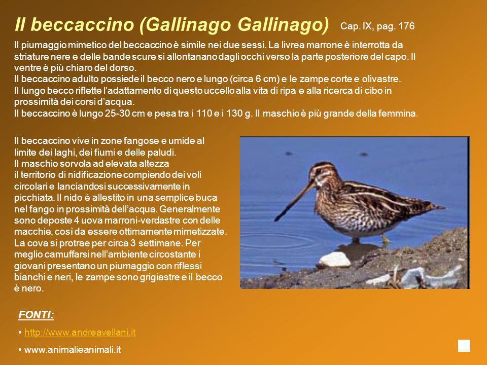Il beccaccino (Gallinago Gallinago) Il piumaggio mimetico del beccaccino è simile nei due sessi. La livrea marrone è interrotta da striature nere e de