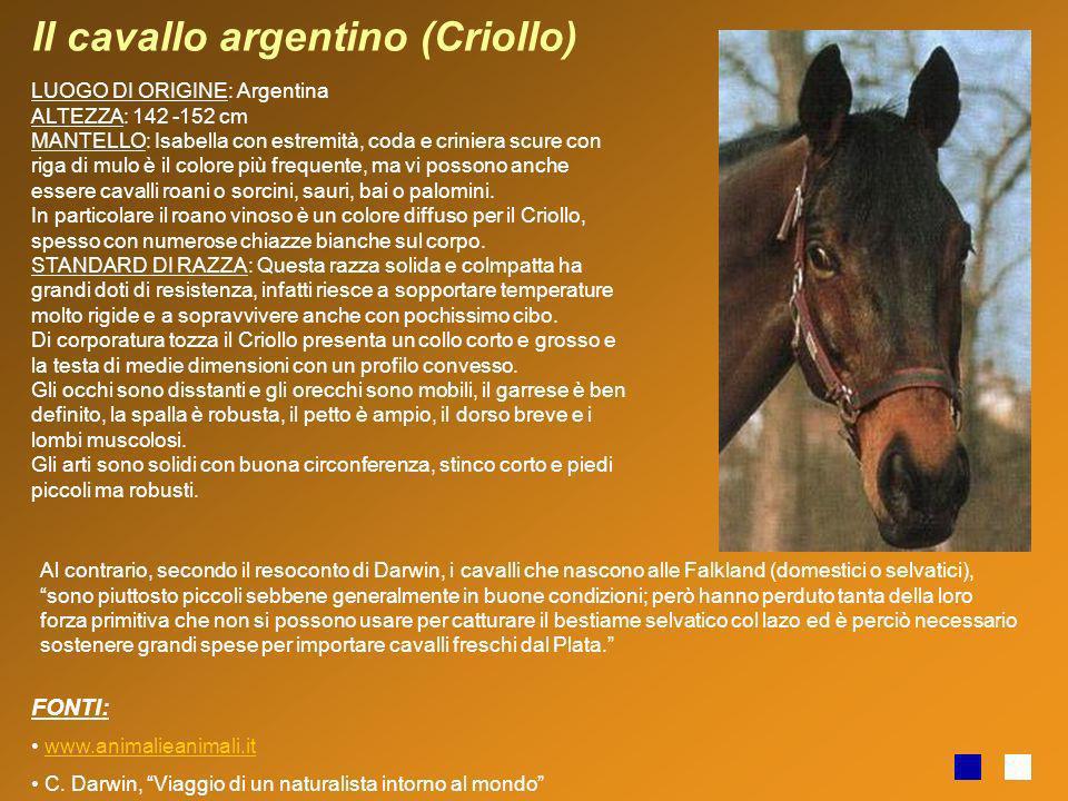 Il cavallo argentino (Criollo) LUOGO DI ORIGINE: Argentina ALTEZZA: 142 -152 cm MANTELLO: Isabella con estremità, coda e criniera scure con riga di mu