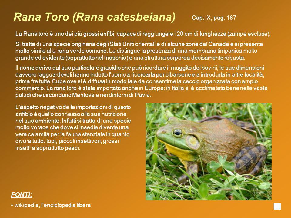 Rana Toro (Rana catesbeiana) La Rana toro è uno dei più grossi anfibi, capace di raggiungere i 20 cm di lunghezza (zampe escluse). Si tratta di una sp