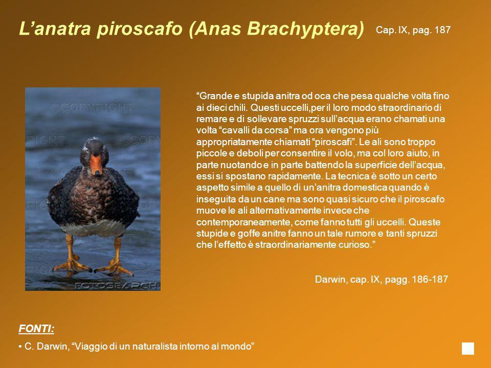 Lanatra piroscafo (Anas Brachyptera) Grande e stupida anitra od oca che pesa qualche volta fino ai dieci chili. Questi uccelli,per il loro modo straor