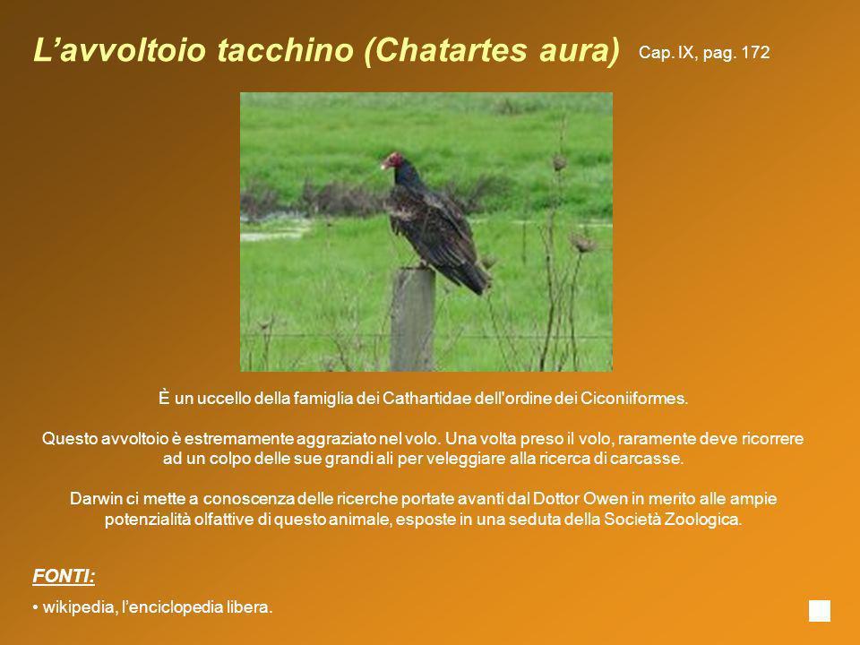 Lavvoltoio tacchino (Chatartes aura) È un uccello della famiglia dei Cathartidae dell'ordine dei Ciconiiformes. Questo avvoltoio è estremamente aggraz