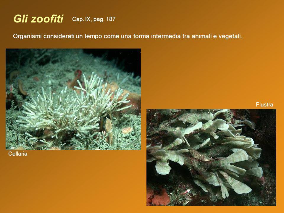 Gli zoofiti Flustra Cellaria Organismi considerati un tempo come una forma intermedia tra animali e vegetali. Cap. IX, pag. 187