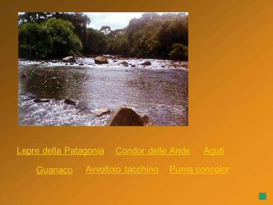 Condor delle Ande Puma concolor Guanaco AgutiLepre della Patagonia Avvoltoio tacchino