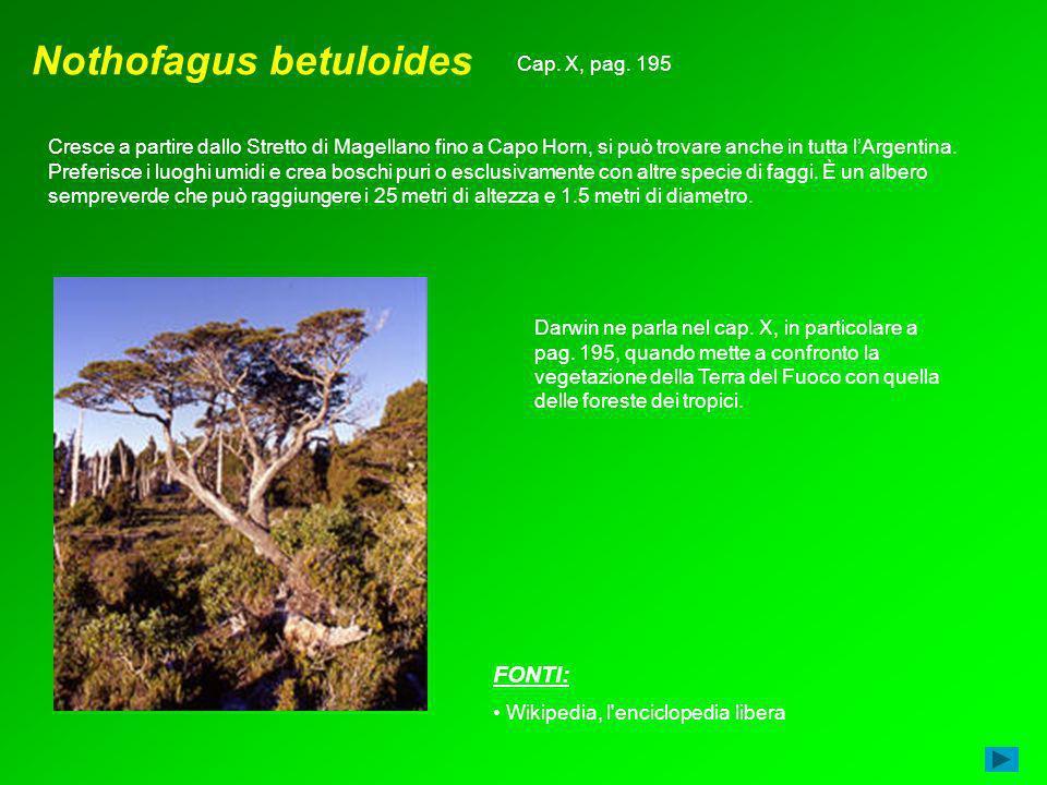 Nothofagus betuloides Cresce a partire dallo Stretto di Magellano fino a Capo Horn, si può trovare anche in tutta lArgentina. Preferisce i luoghi umid